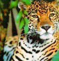 Hoe de jaguar overwonnen werd